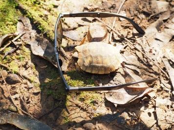 A tiny, tiny turtle