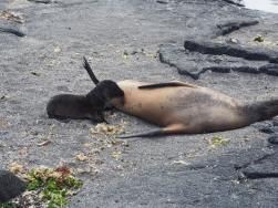 Mama seal nursing newborn