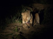 Lion after dark