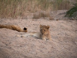 More cubs