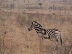 Saw a Zebra on my last drive!