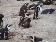 PENGUINS! First new wildlife of the trip.