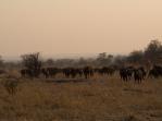 Herd at dawn